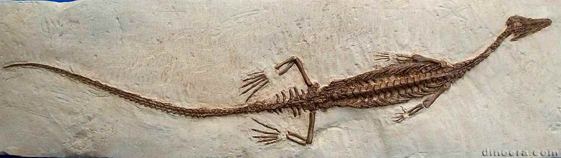Fossil embryos of Mesosaurus have been discovered in Uruguay and Brazil These fossils are the earliest record of amniote embryos although amniotes are inferred to