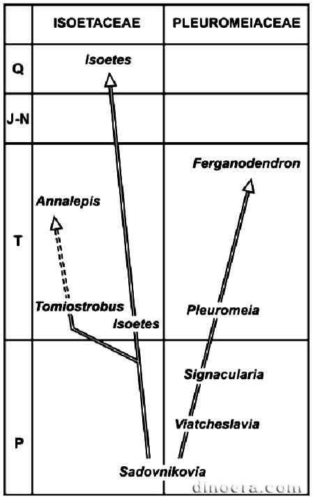 Pleuromeiaceae 07 phylogeny cc