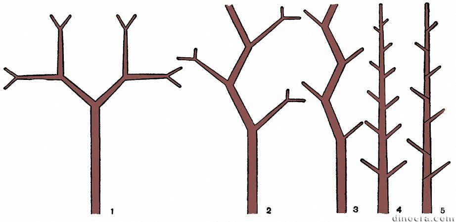 Типы ветвлений стебля